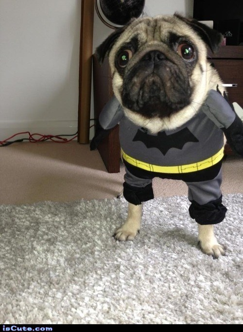 Pug Dressed as Batman Pug Dressed up as Batman
