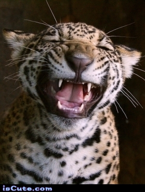 Laughing Leopard Iscute Com