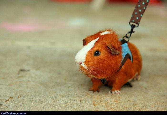 Walking a Guinea Pig