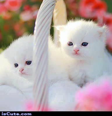 Basket of White Kittens @ isCute.com