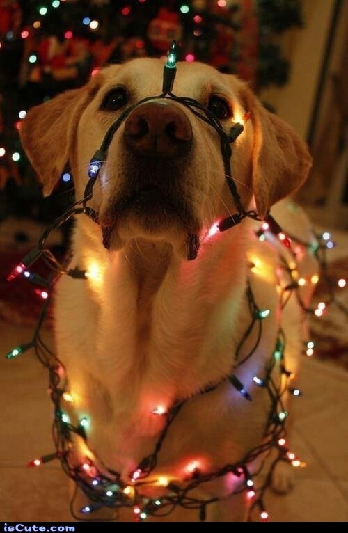 oh christmas dog oh christmas dog iscutecom - Dog Christmas Lights