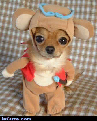 Dressed Up Chihuahua